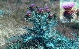 artichoke thistle plant