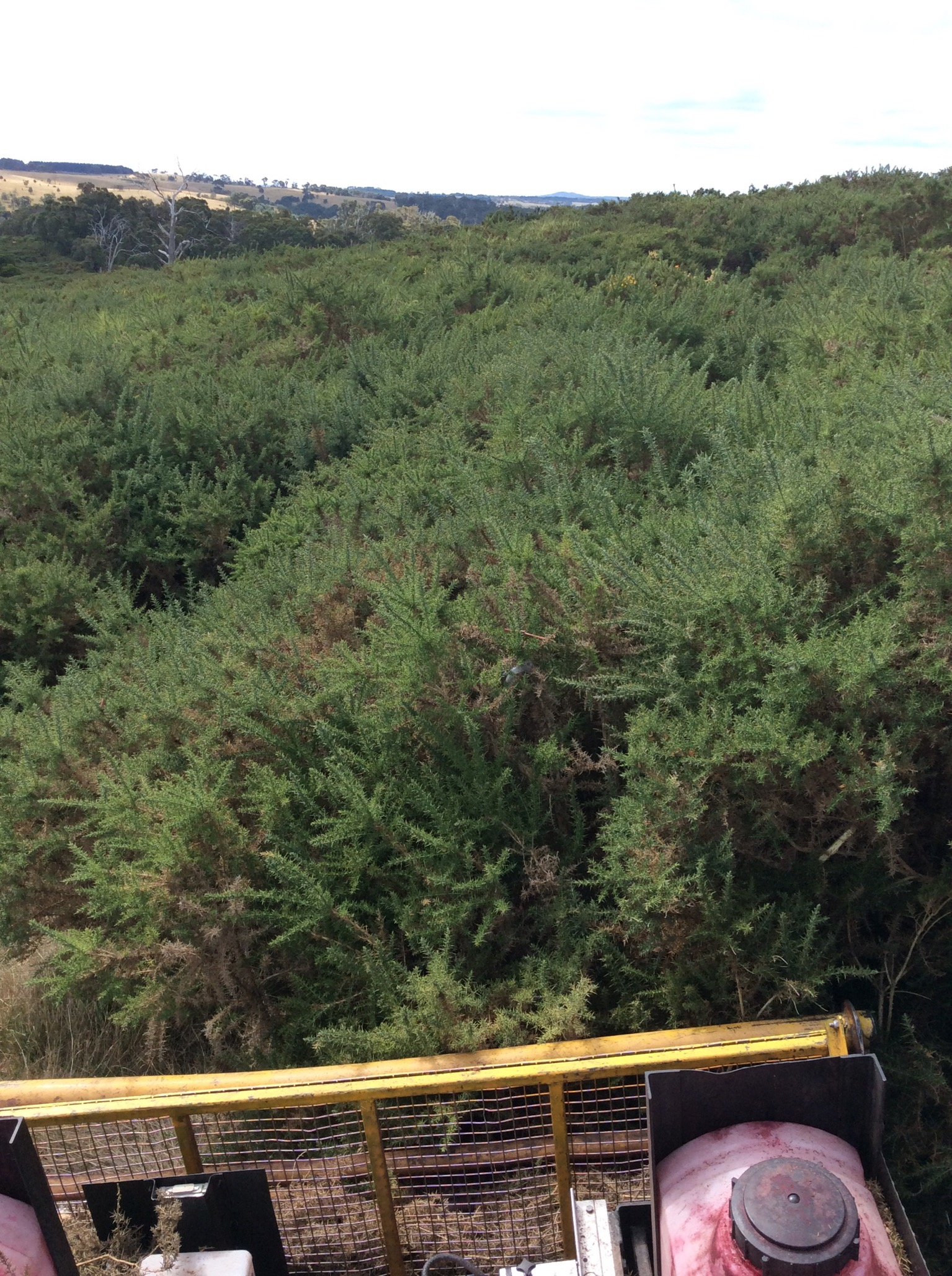 Sea of gorse awaiting the EcoBlade