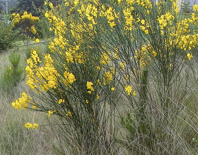 Flowering Broom